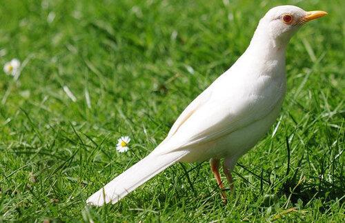 Черный дрозд-альбинос