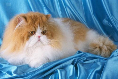 Самые популярные кошки