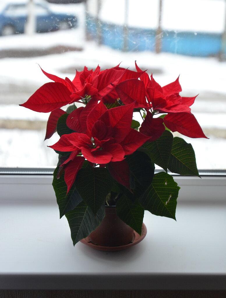 Пуансеттия рождественская звезда уход в домашних условиях 618