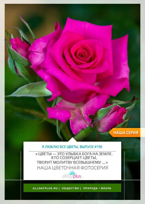 Я люблю все цветы, выпуск 190   Выставка «Розы Латвии».