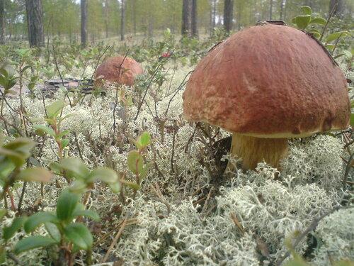 Белые грибы, два