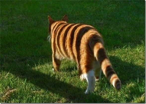 кот раскраска тигра