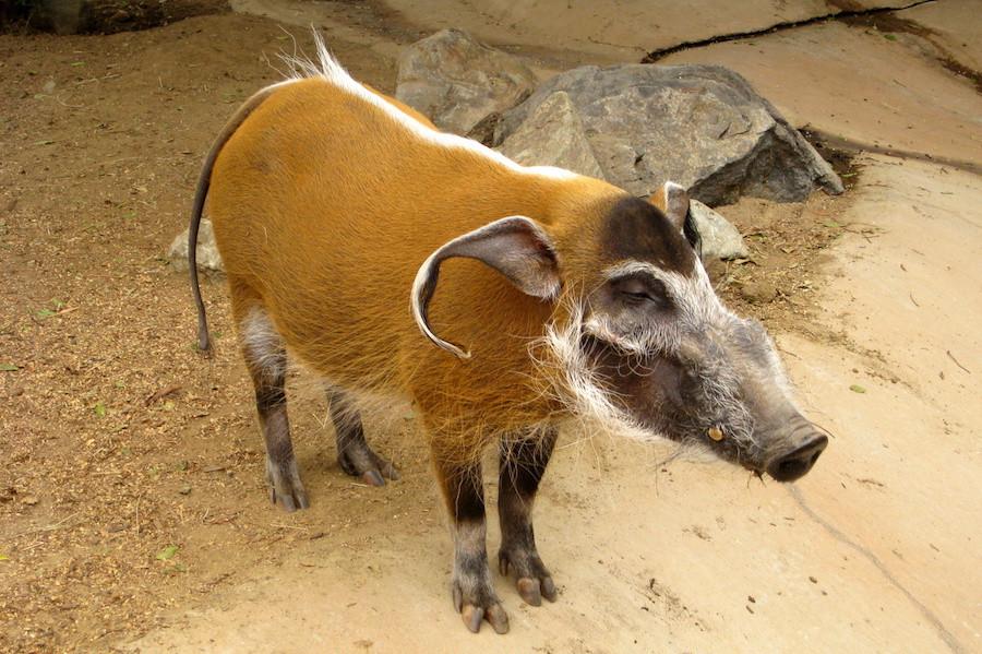 Одна из пород диких свиней. Встречается в Западной и Центральной Африке от Сенегала до Демократическ