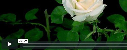 Life of flowers (Жизнь цветов)