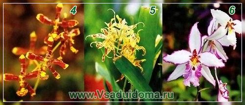 Цветы онцидиумы - фото