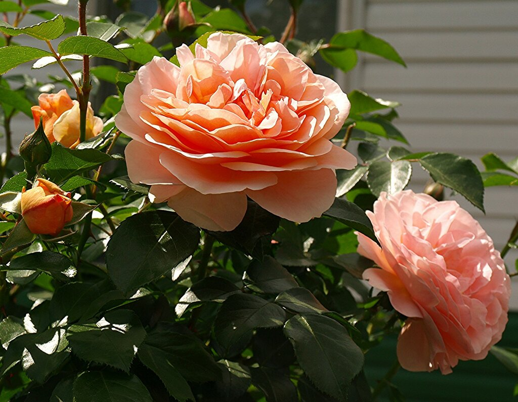 Роза Барок,плетистая
