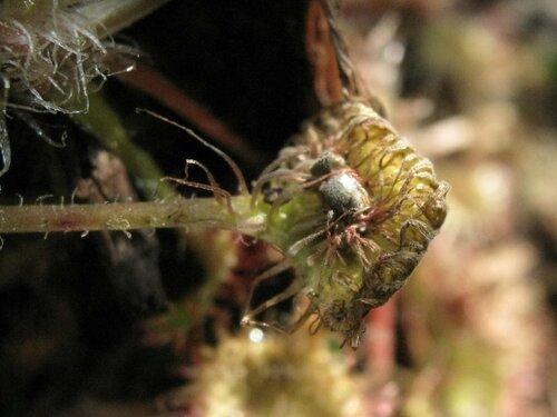 Росянка круглолистная (Drosera rotundifolia)  Автор фото: Лариса Петрович