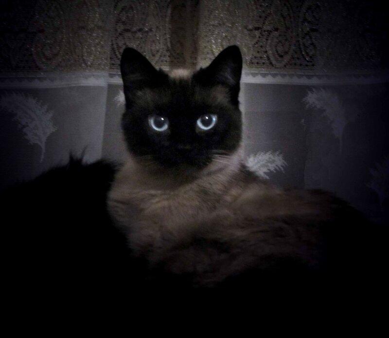 Тайская кошка.jpg