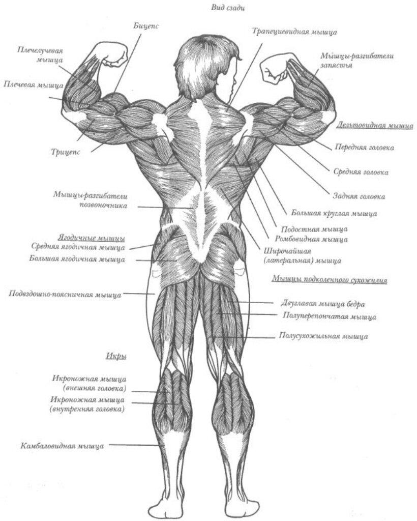 мышцы человека спереди сзади картинки после родов