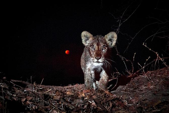Львенок на фоне кровавой луны, Замбия.
