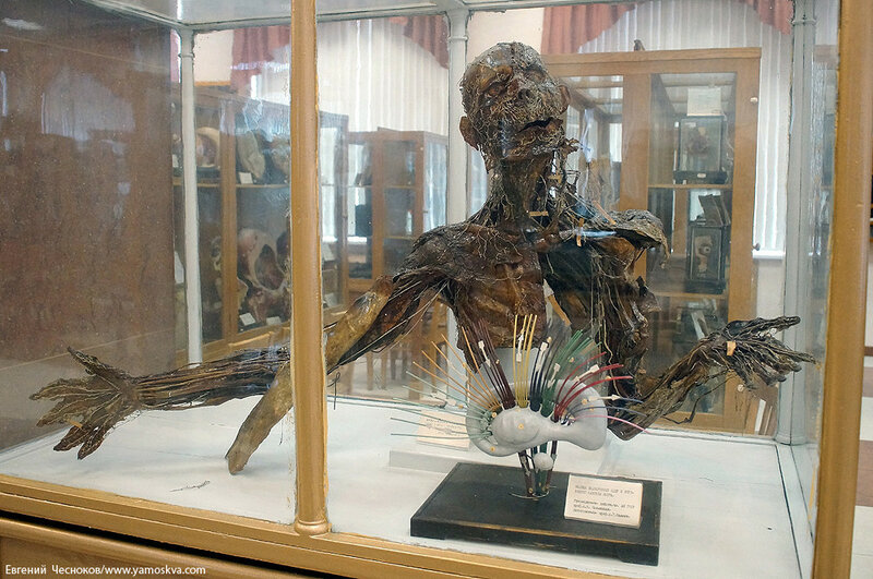 Лето. МГМУ. Музей анатомии. 27.08.15.28..jpg