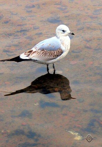 Молодая чайка