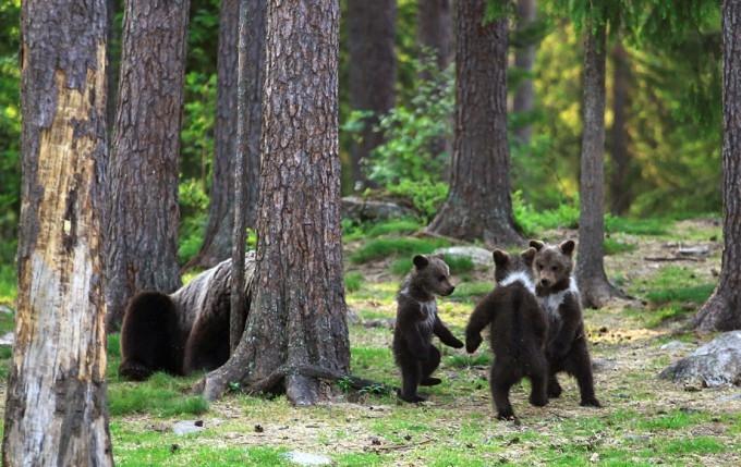 Как финские медвежата водят хороводы в лесу