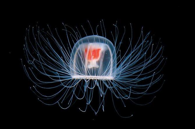 5. Медуза Медуза вида Turritopsis nutricula способна управлять собственными генами, что позволяет ей