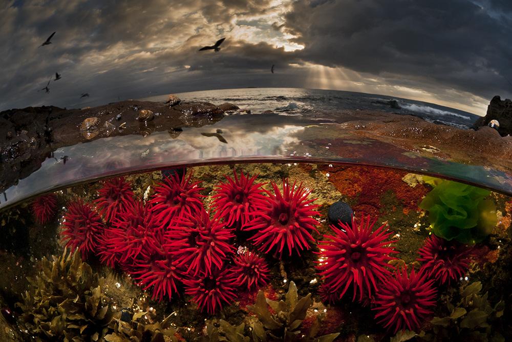 """Crimson Tide"" – Waratah Anemones, Port Kembla, NSW Australia"