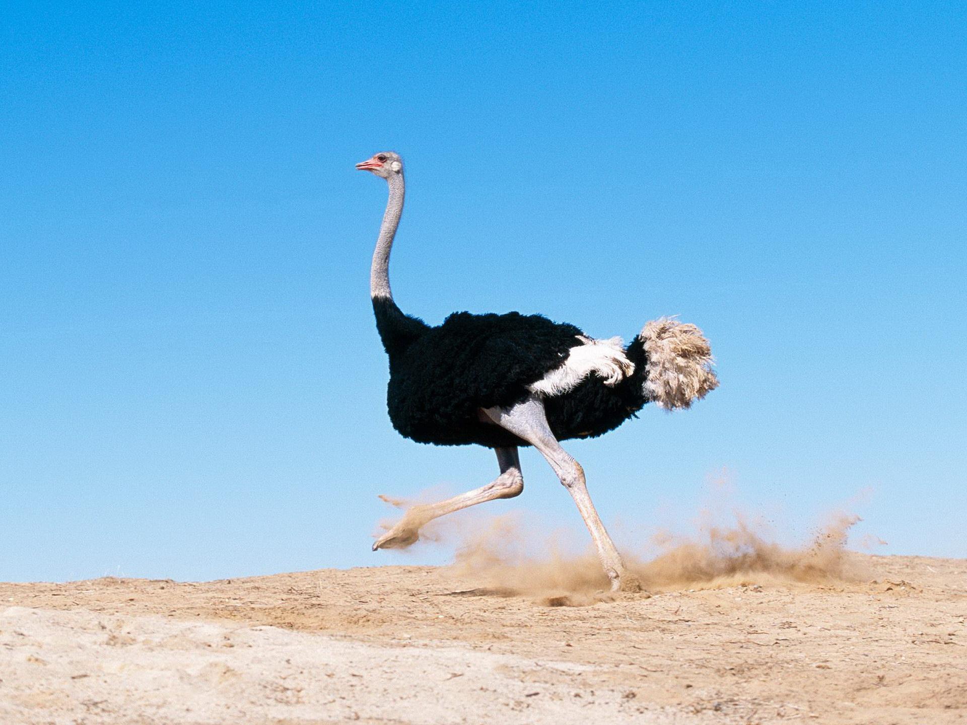 Біжить страус