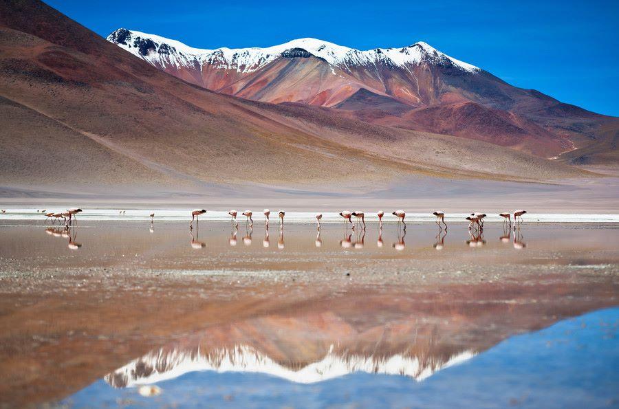 Фламінго в Болівії