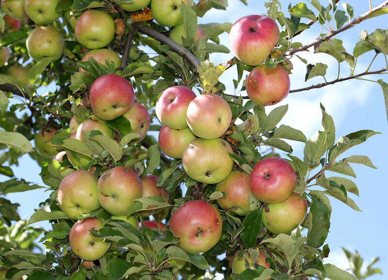 1280px-Apples_on_tree_2011_G1.jpg
