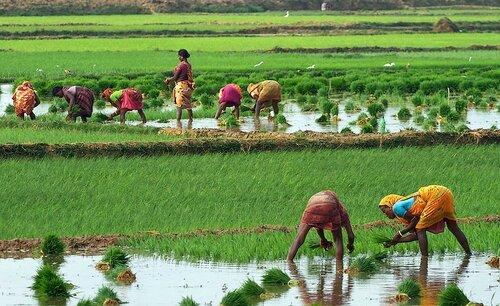 Рисовые поля в Индии