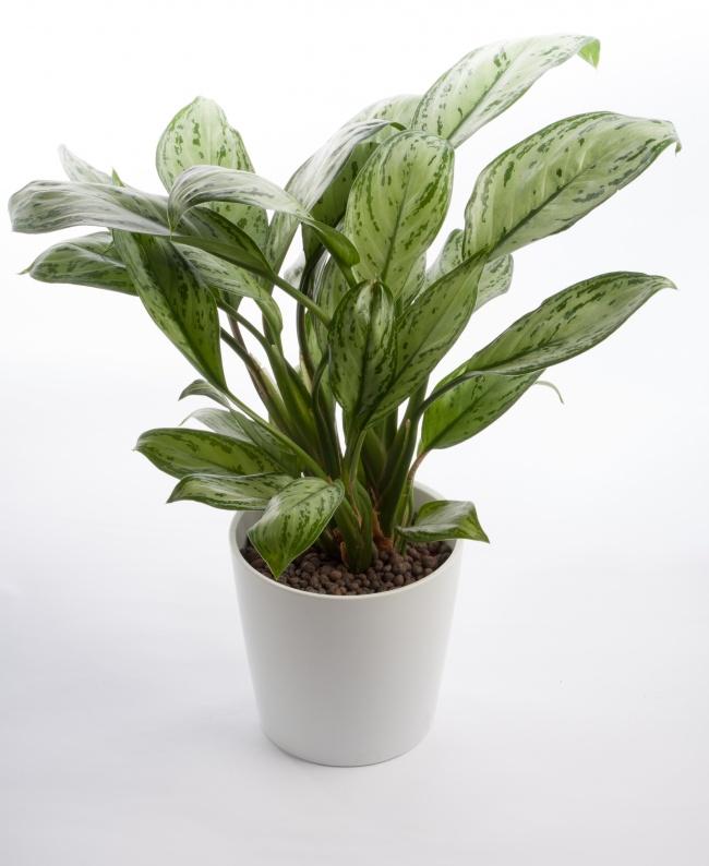 Китайское вечнозеленое дерево— комнатное растение, которое растет вусловиях низкой освещенности и