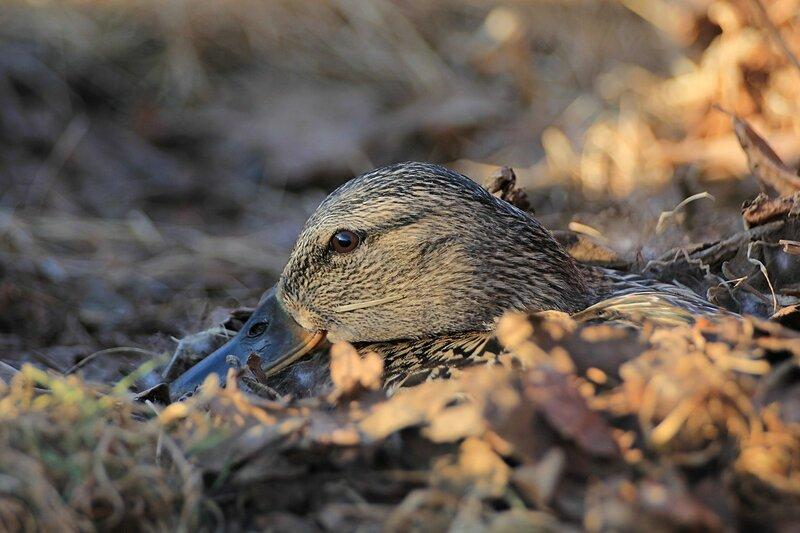 Утка сидит на гнезде среди листьев