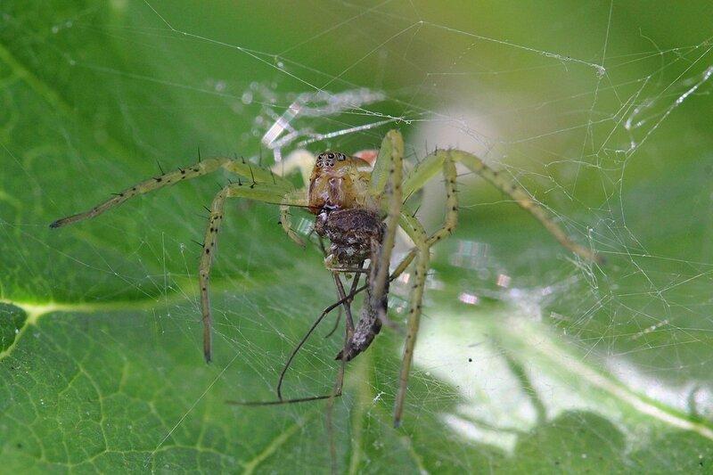 Паук впился хелицерами в комара, впрыскивает яд с пищеварительными ферментами и выпивает жидкое содержимое.