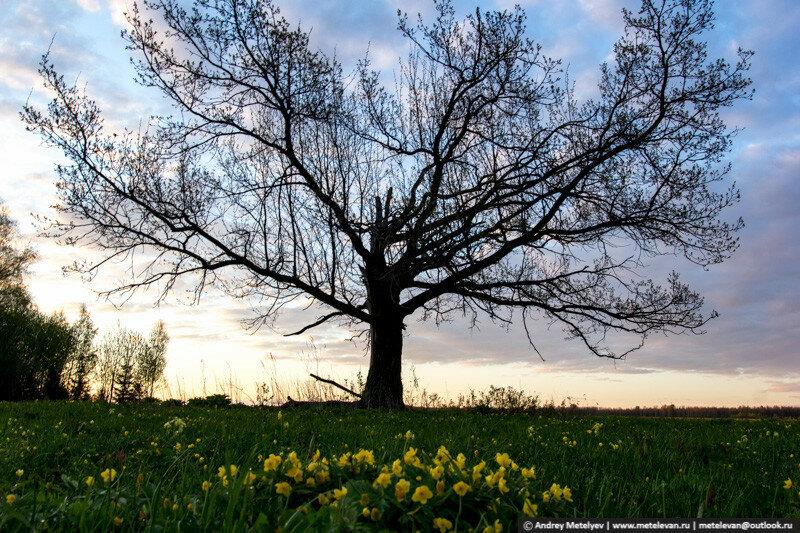 желтые цветы и дуб