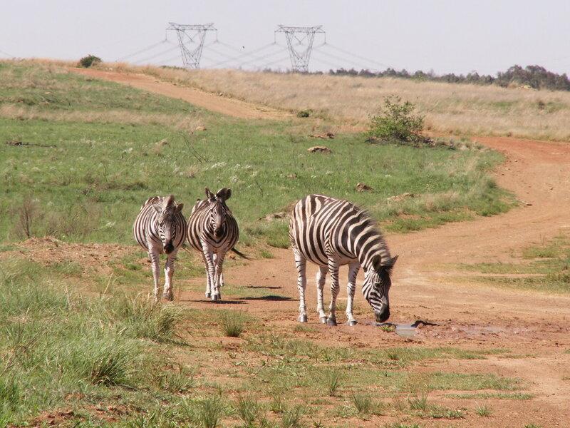 ЮАР, зебры