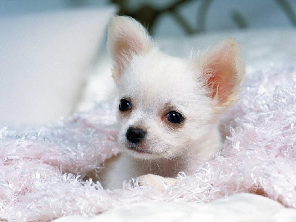 Біла собачка