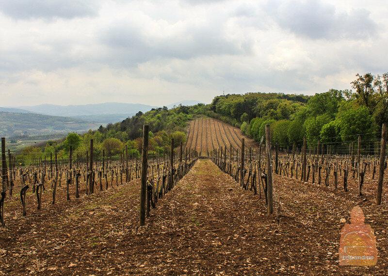 Виноградник на холме Опленац