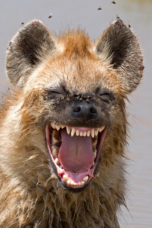 27. Наездник. (Фото Brenden Simonson   Barcroft Images   Comedy Wildlife Photography Awards 201