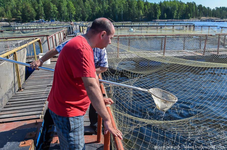 41. А в этих садках молодь. Они накрыты сеткой, чтобы рыбу не утащили чайки.