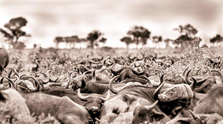 9. Стадо буйволов. Когда они вместе, это большая сила и хищникам трудно что-то предпринять.