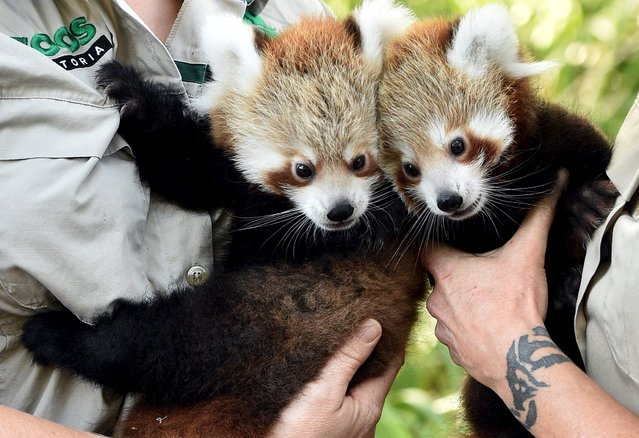Red Panda cubs Mandu (L) and Keta, who were born in December last year, are held by their keepers as