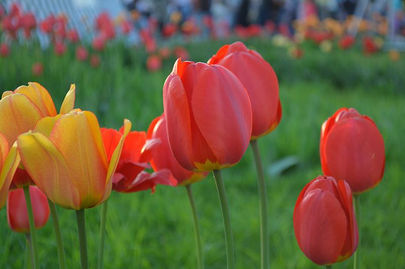 майские тюльпаны 5.jpg