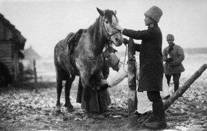 1915. Осмотр боевой лошади