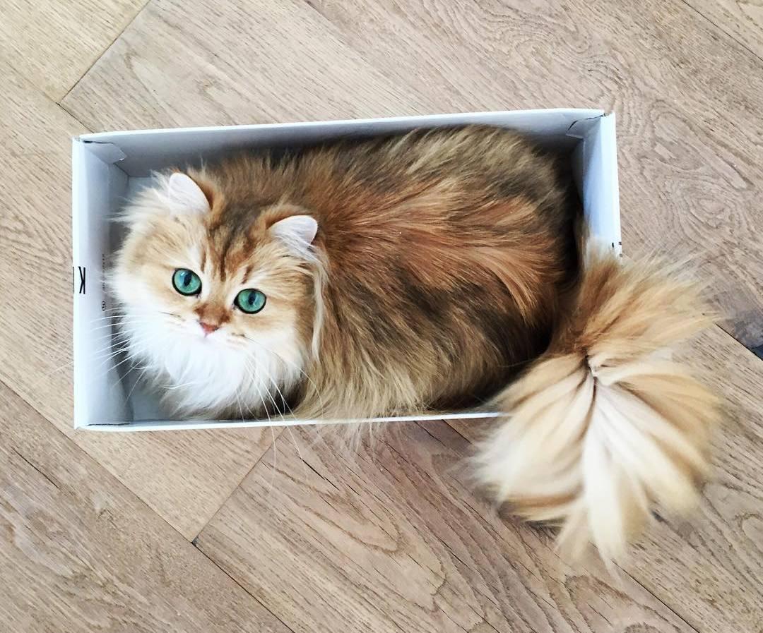 Кошка с идеально пушистым хвостом