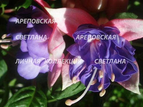 НОВИНКИ ФУКСИЙ. - Страница 5 0_150444_5b2e446b_L