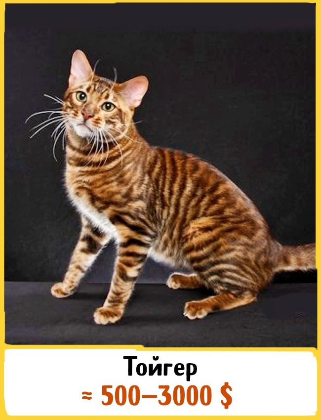 © jubalkatz.com  Эта крупная порода кошек окрасом напоминает тигра, из-за этого она иполучила