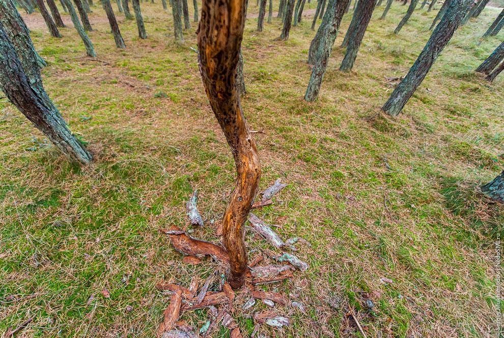 Что-то необъяснимое мучает стволы, деревья словно корчатся от боли.