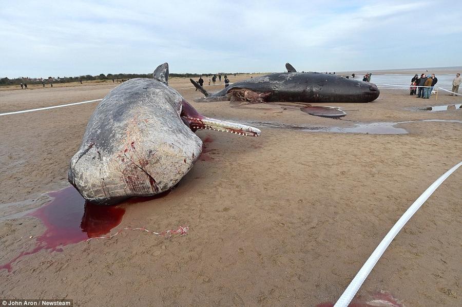 10. Пятый по счёту кит был обнаружен недалеко от того места, где незадолго до этого были найдены туш