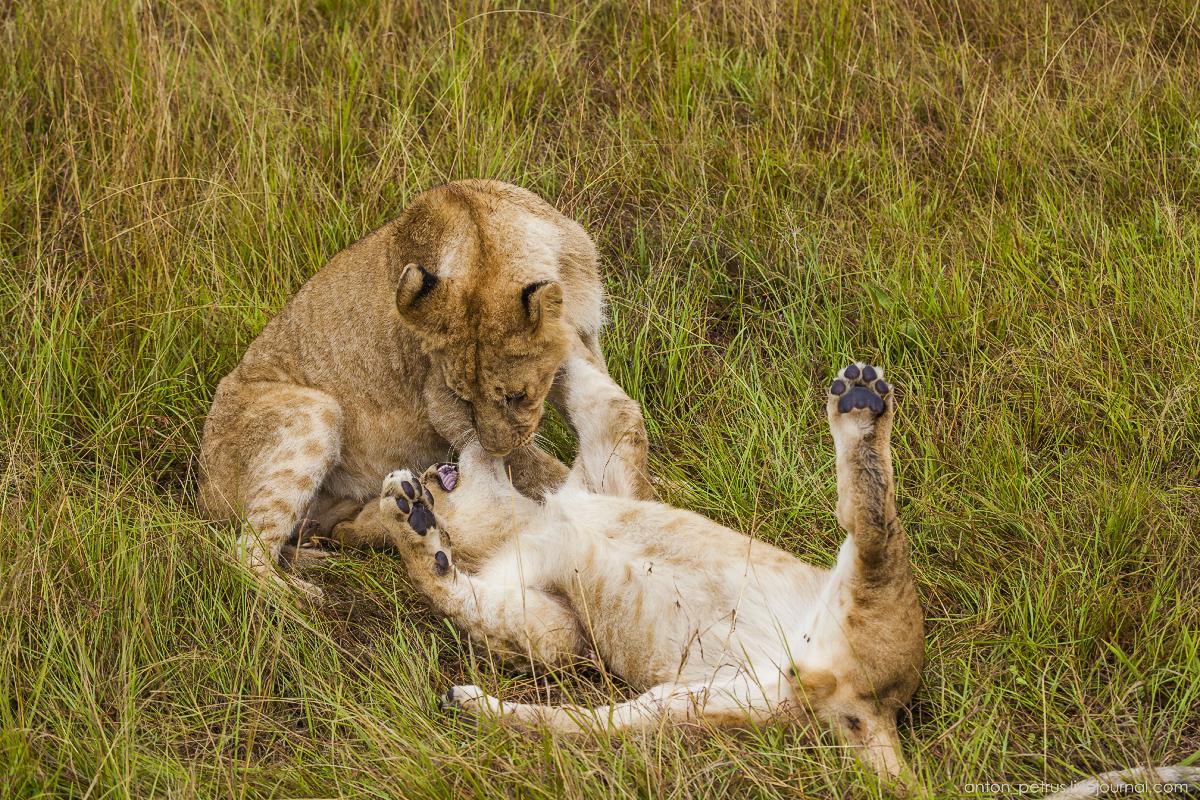 Львица лежала-лежала, но все же поднялась проверить, как там юнцы, чем занимаются.