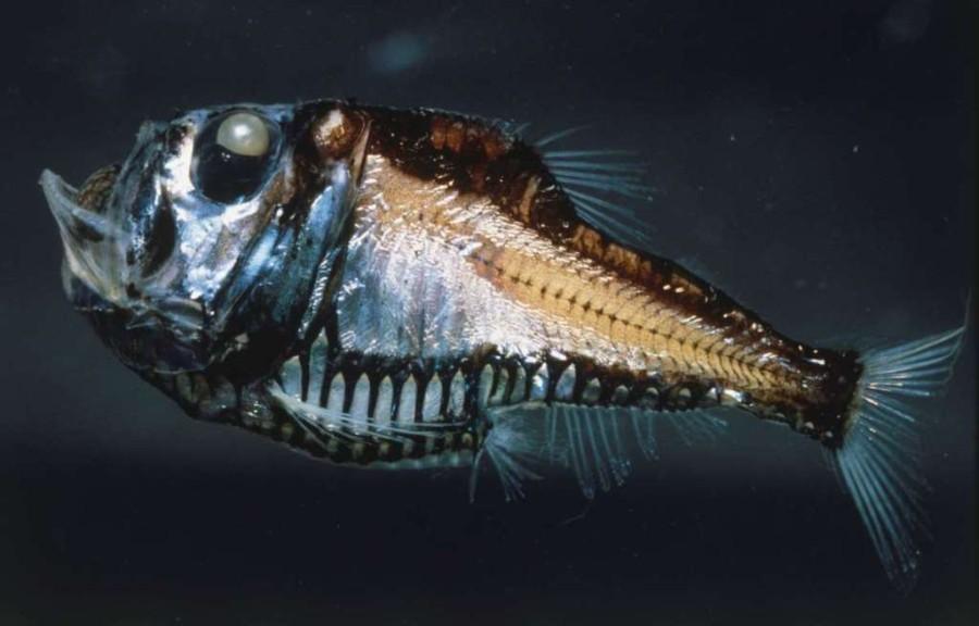 8. Рыба-топор.