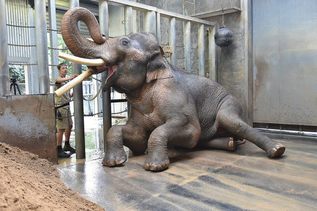 Zoo keeper Lucy Truelson washes Bong Su's tusk, an Asian elephant bull, in his enclosure at the