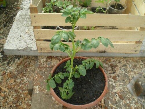 Зелёное черенкование картофеля