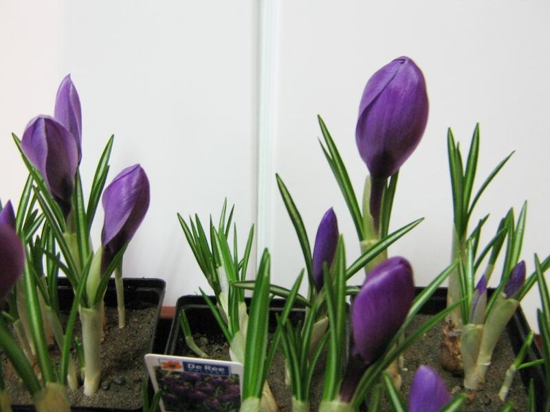 Посадка (выгонка) луковичных к 8 марта