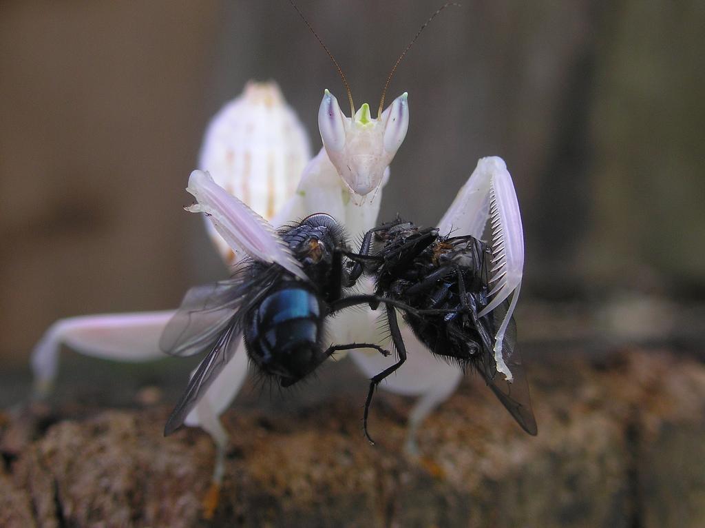 Гименопус увенчанный (Hymenopus coronatus)