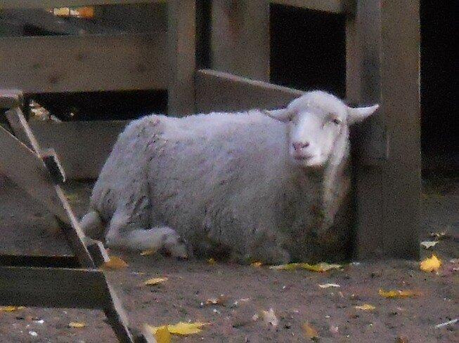 Необычный зоопарк на Елагином острове (камерунская коза)