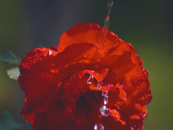 струя воды падает на цветок розы