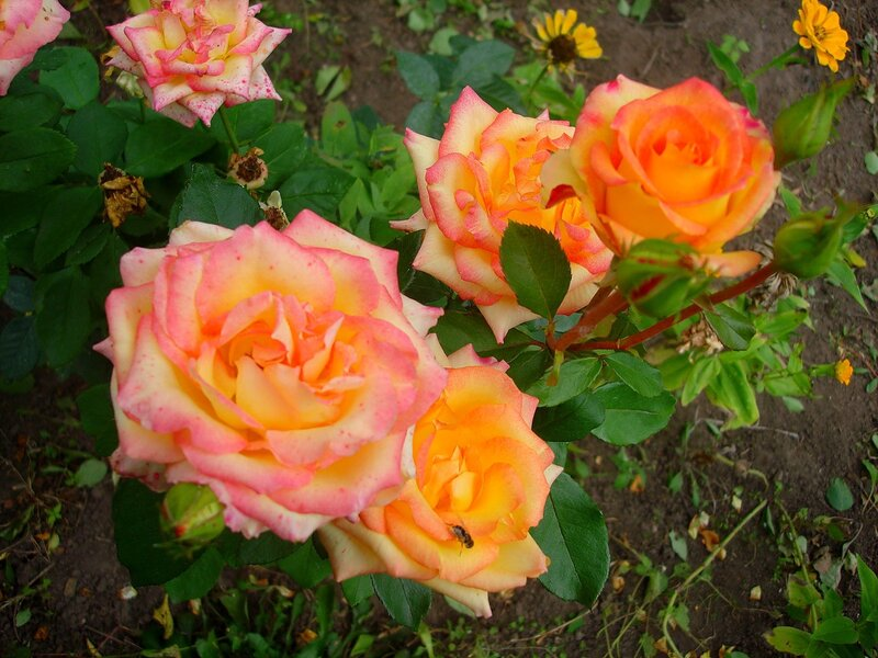 Осень,с.Остров, подворье,райский садик,розы